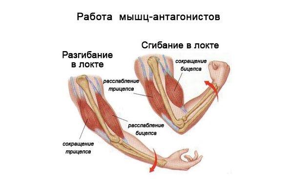 1 жевательные мышцы: приводят в движение нижнюю челюсть, при сокращении этих мышц развивается определенной силы