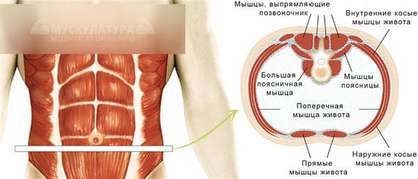 Как накачать косые мышцы живота. Лучшие упражнения и комплекс