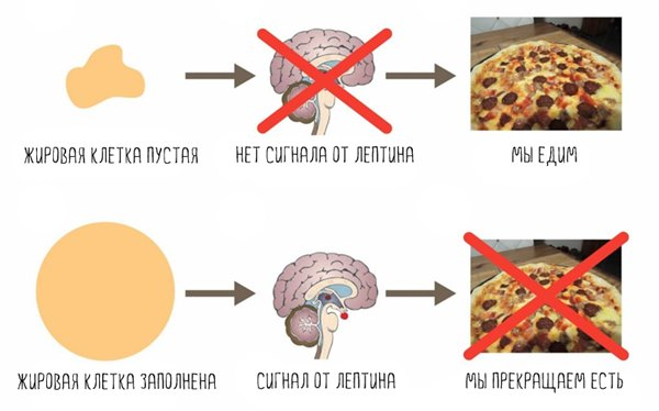 Гормоны и лишний вес. Как гормоны влияют на вес и как с ними поладить?